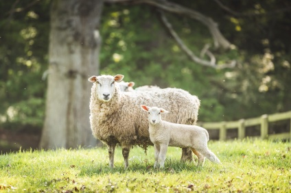 Buy our local grass-fed lamb, grazed on Bredon Hill