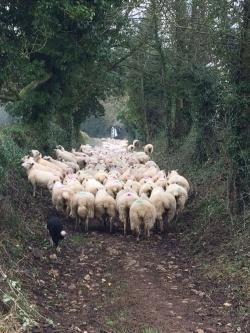 NAKED SHEEP ON BREDON HILL!